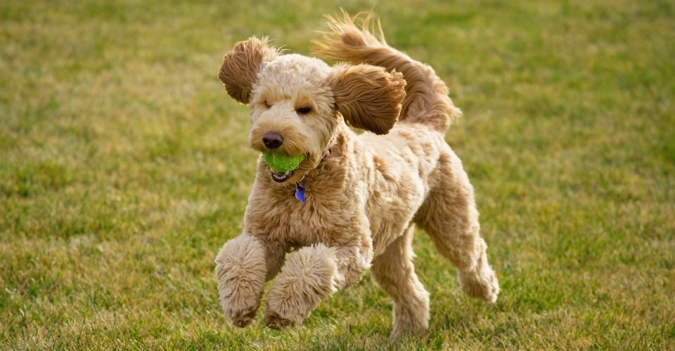 Are Goldendoodles Hypoallergenic