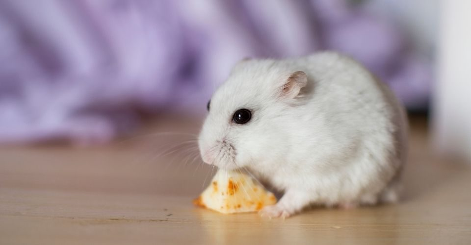 Can Hamsters Eat Cheese-keeping-pet