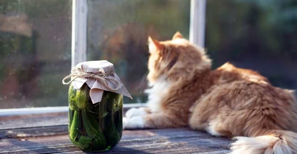 Can cats eat pickles