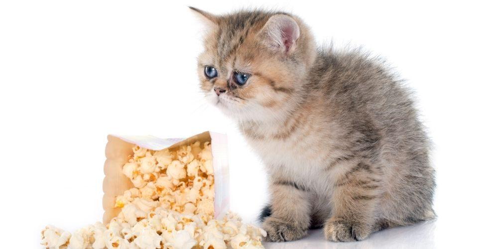 Can cats eat popcorn - keeping pet