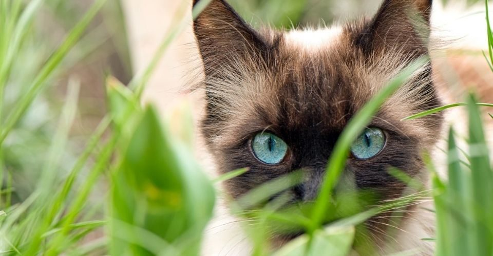 Animal kingdoms finest cats with blue eyes.