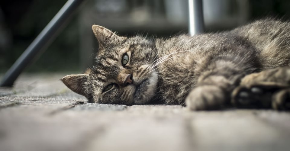 Dewormer for cats
