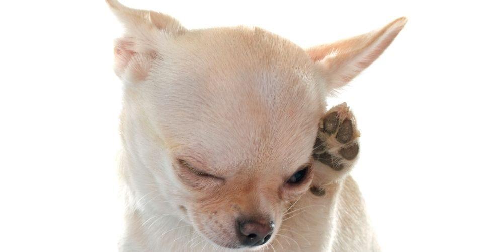 Dog Dandruff - keeping pet