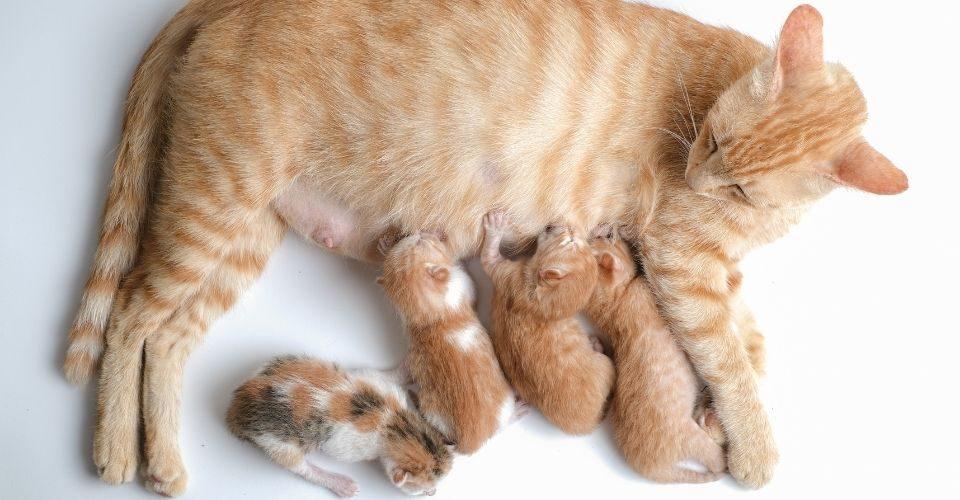 How Long Do Kittens Nurse