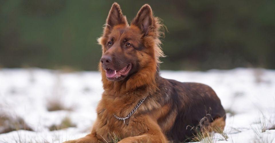 Liver German Shepherds