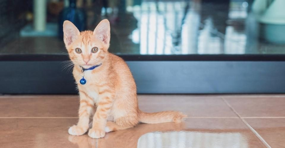 Orange Cat Breeds