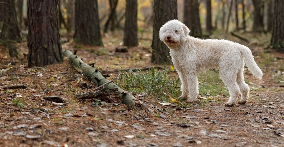 Rare dog breeds