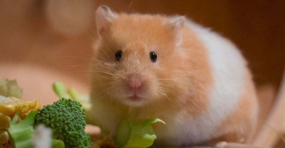 Teddy Bear Hamster-Teddy Bear Hamster