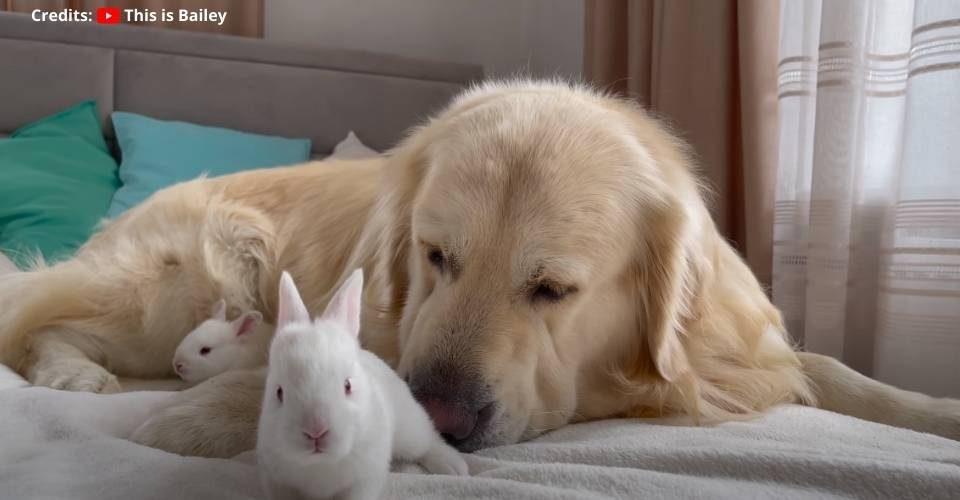 Golden Retriever Meets Baby Bunnies