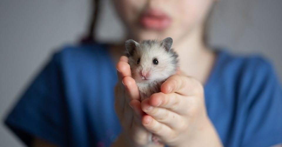 Types of Hamsters: 5 Domesticated Hamsters for Kids