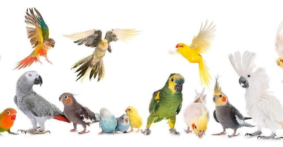 Types of parakeets-keeping-pet
