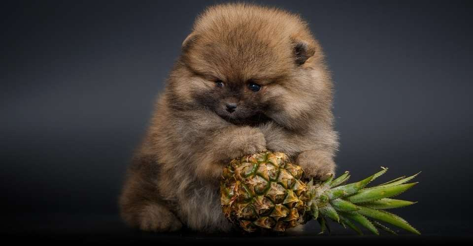 can dogs eat pineapple - keeping pet
