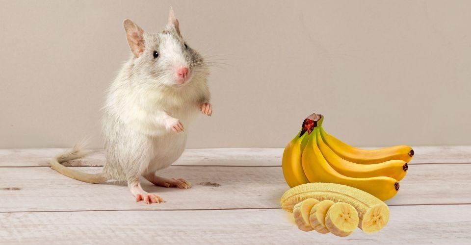 can hamsters eat bananas (1)