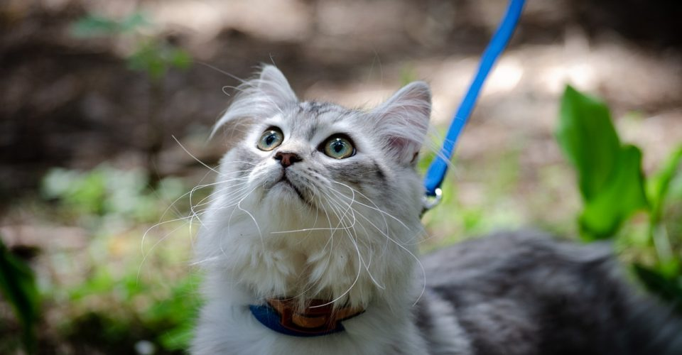 leash train a cat