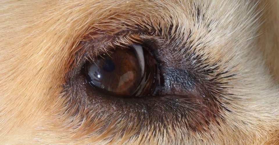 dog-eye-infections