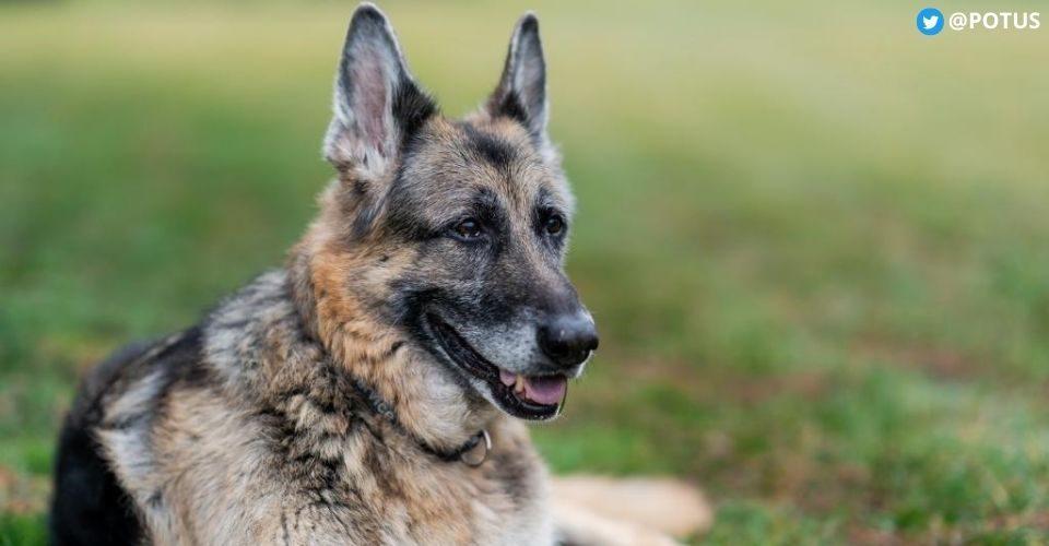 joe-bidens-dog-champ