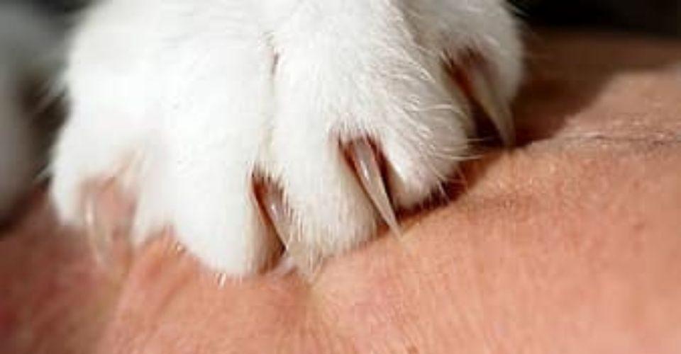 Cat Scratch Disease-keeping-pet